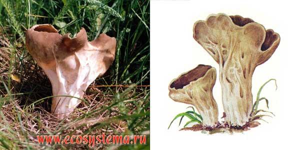 Ацетабула обыкновенная, или гельвелла обыкновенная, или лопастник обыкновенный - Нelvella acetabula Quel., или Acetabula vulgaris, или Paxina acetabulum