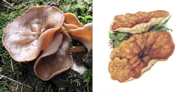 Дисцина щитовидная, или блюдцевик розово-красный - Discina perlata (Pers.) Sacc., или Discina ancilis, или Disciotis ancilis
