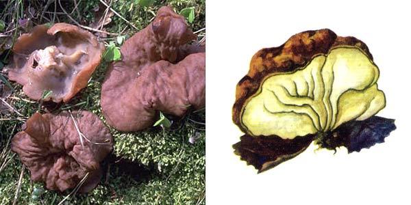Дисцина жилковатая, или блюдцевик жилковатый - Discina venosa (Pers.) Sacc., или Disciotis venosa