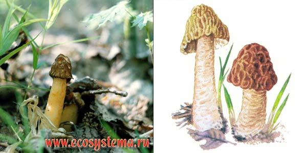 Сморчковая шапочка, или колпачок, или сморчок нежный, или верпа чешская - Verpa bohemica (Krombh.) Schroet.