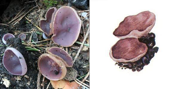 Пецица фиолетовая - Peziza violacea Fr.