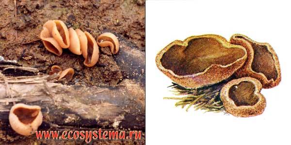 Пецица коричневая, или чашечка, или пецица темно-каштановая, или пецица коричнево-каштановая - Peziza badia Merat