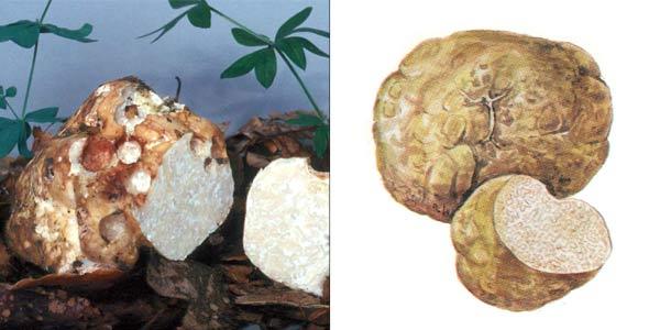 Трюфель белый, или шойромицес жилковатый - Choiromyces meandriformis Vitt.