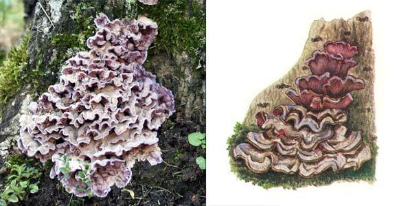 Хондростереум пурпурный, или стереум пурпурный, или стереум пурпурно-фиолетовый - Chondrostereum purpureum (Fr.) Pouz.