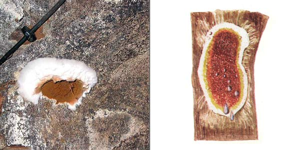 Серпула плачущая, или настоящий домовый гриб - Serpula lacrimans (Wulf.: Fr.) Schroet.