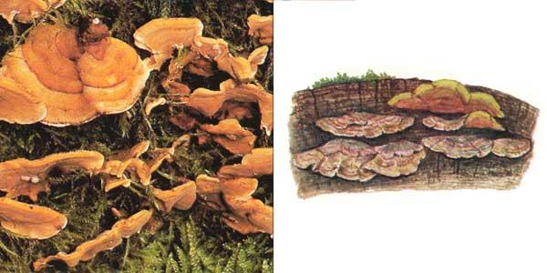 Стереум жестковолосистый - Stereum hirsutum (Fr.) Fr.