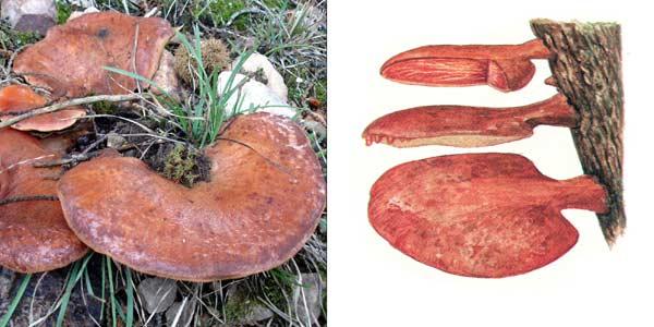 Печеночница обыкновенная - Fustulina hepatica Schef. Fr.
