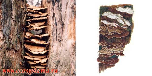Бьеркандера опаленная, или бьеркандера обугленная, или трутовик темнопоровый - Bjerkandera аdusta (Willd.) Karst.