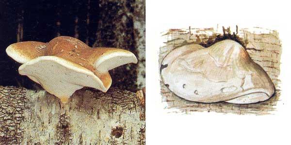 Трутовик березовый, или пиптопорус березовый, или березовая губка - Piptoporus betulinus (Bull.:Fr.) Karst., или Polyporus betulinus