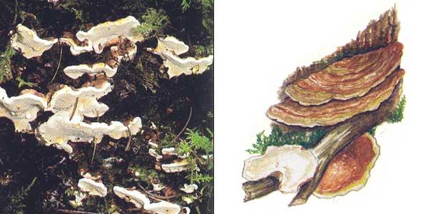 Корневая губка - Heterobasidion annosum (Fr.) Bref.