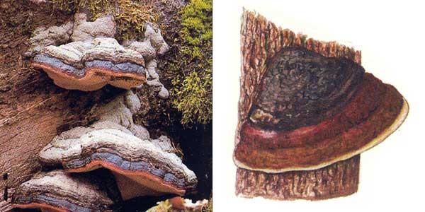 Трутовик окаймленный - Fomitopsis pinicola (Fr.) Karst., или Fomes pinicola