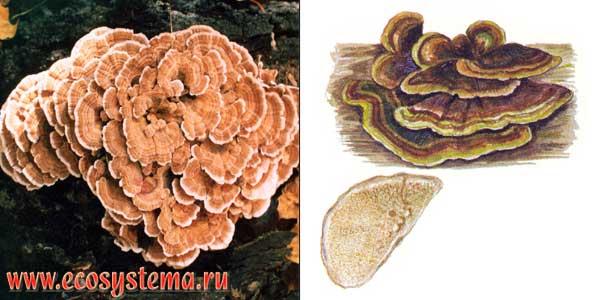 Кориолус многоцветный, или кориол многоцветный - Coriolus verisicolor (L.:Fr.) Quel.