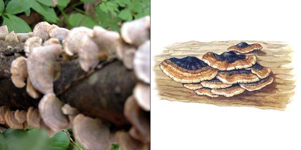 Кориолус зональный, или кориол зональный - Coriolus zonatus (Fr.) Quel.