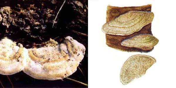 Кориолус волосистый, или кориол волосистый - Coriolus hirsutus (Fr.) Quel.