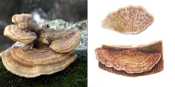 Лензитес березовый - Lenzites betulina Fr.