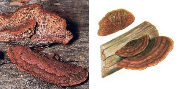 Заборный гриб - Gleophyllum sepiarium (Fr.) Karst.