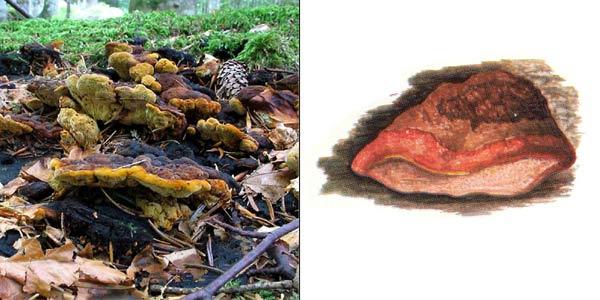 Душистый трутовик - Osmoporus odoratus (Fr.) Sing.