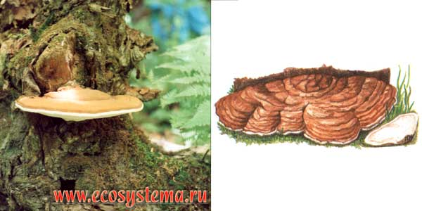 Трутовик плоский - Ganoderma applanatum
