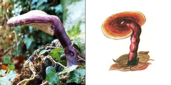 Трутовик лакированный, или ганодерма блестящая - Ganoderma lucidum (Fr.) Karst., или Fomes lucidus, или Ganoderma sulcatum