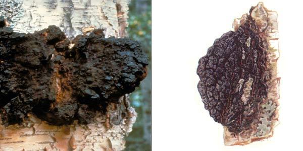 Трутовик скошенный, или чага, или березовый гриб, или черный гриб, или древесный гриб, или трутовик косотрубчатый - Inonotus obbliquus (Fr.) Pil. F. sterilis (Van) Nikol.