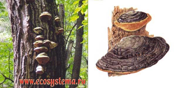 Ложный трутовик, или трутовик дубовый - Phellinus igniarius (L.: Fr.) Quel.