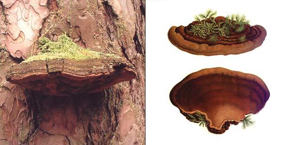 Сосновая губка - Phellinus pini (Brot.:Fr.) A. Ames