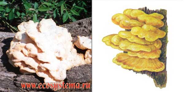 Трутовик серно-желтый - Laetiporus sulphureus ( Buul. Fr.) Bond. Et. Sing.