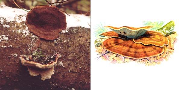 Трутовик смолистый, или ишнодерма смолистая, или ишнодерма смолисто-пахучая - Ischnoderma resinosum (Fr.) P. Karst., или Ischnoderma benzoinus