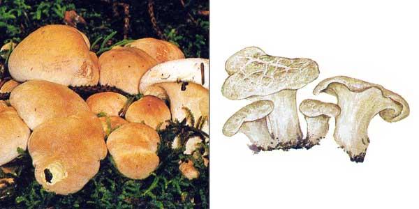 Трутовик овечий, или овечий гриб - Albatrellus ovinus (Fr.) Murr., или Scutger ovinus
