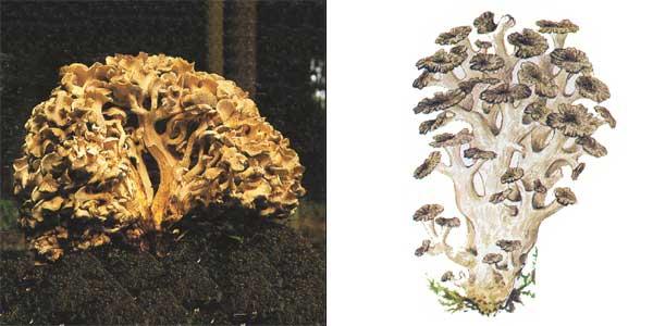 Грифола разветвленная, или грифола зонтичная, или трутовик разветвленный, или трутовик ветвистый - Grifola umbellata (Fr.) Pil., или Polyporus umbellatus
