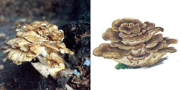 Грифола курчавая, или гриб-баран - Grifola frondosa (Fr.) S. F. Gray.