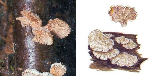 Щелелистник обыкновенный, или шизофилл обыкновенный - Schizophyllum commune (Fr.) Fr.