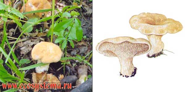 Ежовик желтый, или гиднум выемчатый, или ежовик выемчатый - Hydnum repandum Fr.
