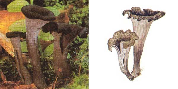 Вороночник рожковидный, или кратереллус рожковидный, или вороночник воронковидный, или лисичка серая - Craterellus cornucopioides (Fr.) Pers., или Cantharellus cornucopioides