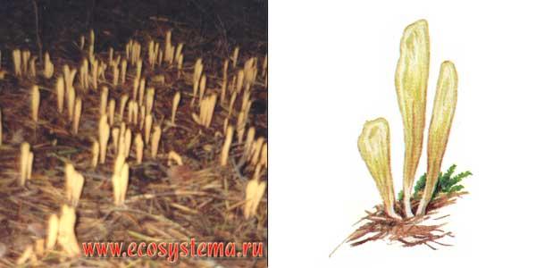 Рогатик язычковый - Clavariadephus ligula (Fr.) Donk.