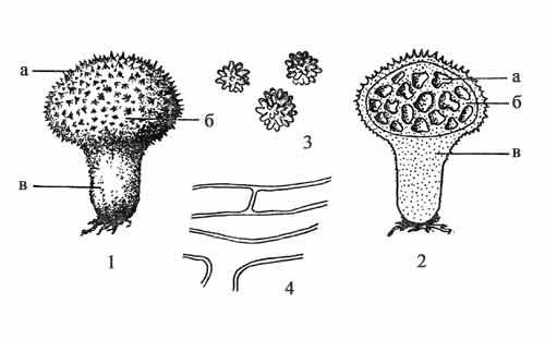 Строение плодового тела гастеромицетов