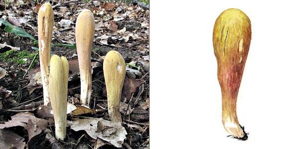 Рогатик пестиковый, или рогатик булавовидный, или рогатик пестичный, или рогатик Геркулеса, или дубинка Геракла - Clavariadelphus pistillaris (Fr.) Donk., или Clavariadelphus pisti Haris (Fr.) Donk.