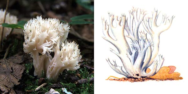 Клавулина гребенчатая, или рогатик гребенчатый, или клавулина коралловидная - Clavulina cristata (Fr.) Schroet., или Clavulina coralloides