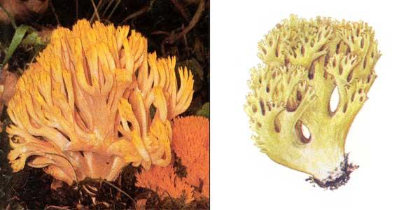 Рогатик желтый, или рамария желтая - Ramaria flava (Fr.) Quel.