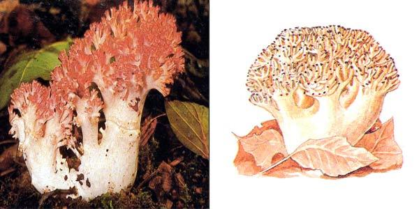 Рогатик гроздевидный, или рогатик гроздевой - Ramaria botrytis (Fr.) Ricken.