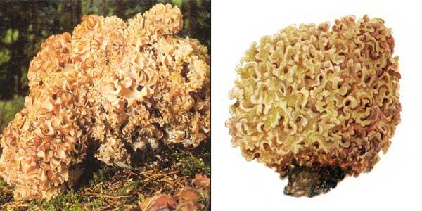 Спарассис курчавый, или грибная капуста, или гриб-баран, или грибное счастье - Sparassis crispa (Fr.) Fr., или Clavaria crispa, или Manina crispa, или Masseeola crispa, или Sparassis radicata