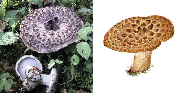 Ежовик пестрый, или саркодон черепитчатый, или саркодон пестрый, или ежовик чешуйчатый, или ежовик черепитчатый, или колчак, или курочка, или ястреб - Sarcodon imbricatum (Fr.) Karst.