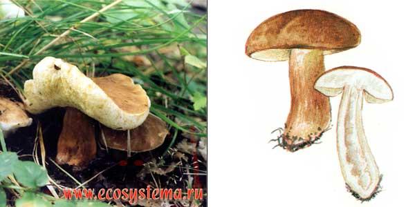 Гиропорус каштановый, или каштановый гриб, или каштановик, или заячий гриб - Gyroporus castaneus (Fr.) Quel.