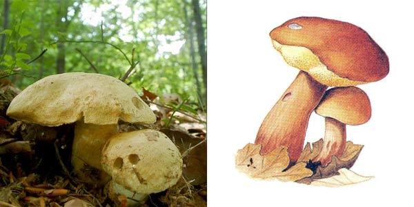 Гиропорус синеющий, или синяк, или гиропор березовый, или гиропор синеющий - Gyroporus cyanescens (Fr.) Quel.