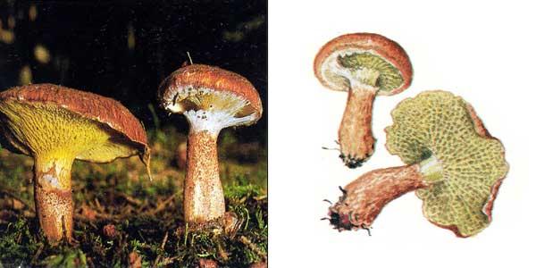 Болетинус полоножковый - Boletinus cavipes (Opat.) Kalchbr.