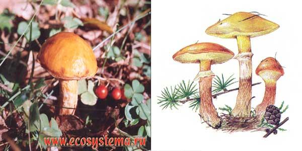 Масленок лиственничный - Suillus grevillei (Klotzsch.) Sing.