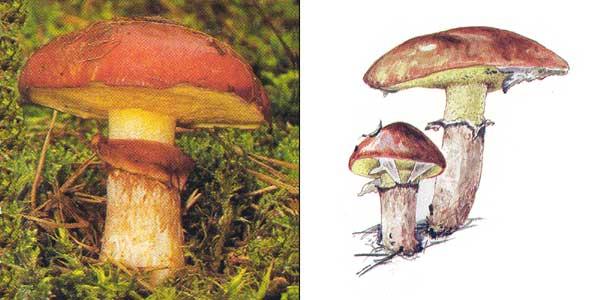 Масленок обыкновенный, или масленок поздний, или масленок настоящий, или масленок желтый, или масленок осенний - Suillus luteus (Fr.) S.F. Gray.