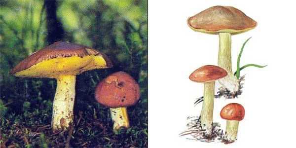 Масленок зернистый, или масленок летний - Suillus granulatus (Fr.) Kuntze.