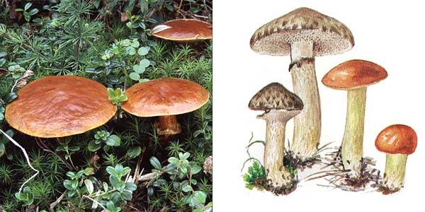 Масленок серый, или масленок синеющий - Suillus aeruginascens (Secr.)Snell.