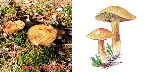 Кoзляк, или решетник - Suillus bovinus (Fr.) O. Kuntze.